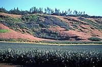 Pineapple field, Lanai