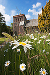 Oxeye daisies, Chrysanthemum leucanthemum, growing wild, Watermillock Church, Ullswater, Cumbria, UK
