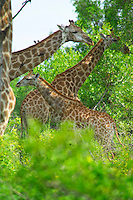 KRUGER NATIONAL PARK, SOUTH AFRICA, DECEMBER 2004. Giraffes tower out of the bush.  Kruger National Park offers good viewing of the 'Big Five' and many other species. Photo by Frits Meyst/Adventure4ever.com