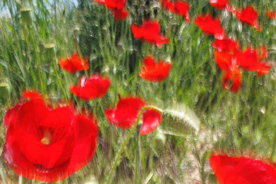 Common Poppy, Papaver rhoeas.<br /> Lagadin village region, east shore Lake Ohrid (693m), Macedonia<br /> Galicica National Park, Macedonia, June 2009<br /> Mission: Macedonia, Lake Macro Prespa /  Lake Ohrid, Transnational Park<br /> David Maitland / Wild Wonders of Europe