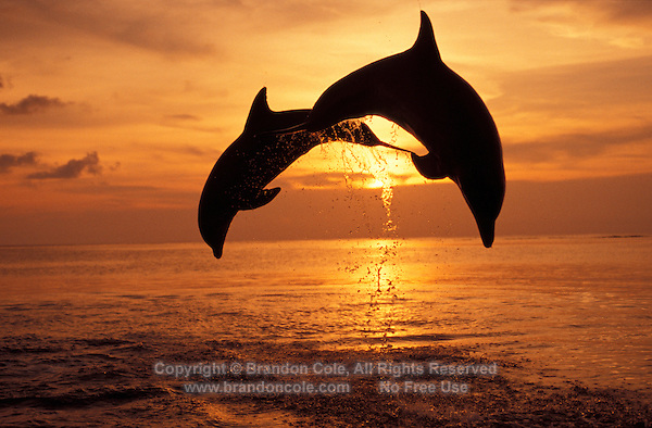 my787. Bottlenose Dolphins (Tursiops truncatus), leaping at sunset. Honduras, Caribbean Sea..Photo Copyright © Brandon Cole. All rights reserved worldwide.  www.brandoncole.com