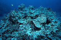 """Rising ocean temperatures killed much of this coral reef, leaving only the """"bleached"""" coral skeleton . Coral only thrives in a narrow temperature range, Fiji, Indo-Pacific"""