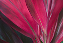 Red Ti leaves; National Tropical Botanical Garden - McBryde Garden, Lawai, Kauai, Hawaii.