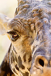 Close-up of a South African giraffe, Africa