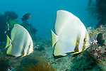 Anilao, Philippines; two adult Golden Spadefish (Platax boersii) swimming over the coral reef