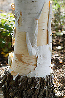 Betula Ermanii 'Polar Bear'