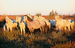 Camargue horses in marsh, Ile de la Camargue, France