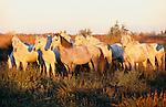 Camargue horses in marsh, Ile de la Camargue, France
