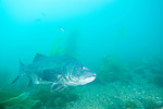 Catalina Island, Channel Islands, California; Giant Sea Bass (Stereolepis gigas), adult, also known as Black Sea Bass , Copyright © Matthew Meier, matthewmeierphoto.com All Rights Reserved