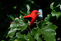 Scarlet Tanager, Tanager, Piranga olivacea