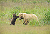Grizzly Bear Cub Play Fighting with Mother Sow, Lake Clark National Park, Alaska