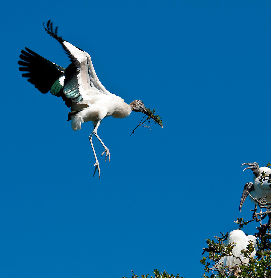 Wood Stork in flight while building nest in Florida.