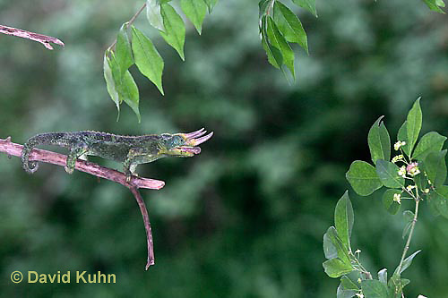 "1104-07xx  Jackson chameleon ""Shooting Out Tongue to Catch Insect"" - Chamaeleo jacksonii - © David Kuhn/Dwight Kuhn Photography [See 1104-07xx, 1104-07yy, 1104-07zz for Complete Tongue Flicking Sequence]"
