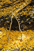 Two fallen Aspen (Populus tremuloides) branches laying at a pleasing angle upon a blanket of fall color. It is as if someone had started building a travois and walked away without completing it.
