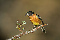 538660007 a wild male black-headed grosbeak pheucticus melanocephalus perches on a small pine bough near the madera grasslands outside green valley arizona united states in madera canyon green valley arizona united states
