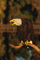 521040098 a captive wildlife rescue adult bald eagle calls out while perched on a dead snag over a small pond in central colorado this bird cannot fly and is a permanent wildlife care facility resident
