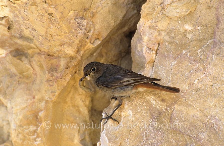 Hausrotschwanz, Weibchen am Eingang zur natürlichen Bruthöhle in Felswand, Haus-Rotschwanz, Rotschwanz, Hausrotschwänzchen, Rotschwänzchen, Phoenicurus ochruros, black redstart