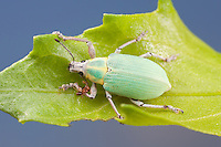 A Blue-green Citrus Root Weevil (Pachnaeus litus) perches on a leaf in Everglades National Park.