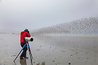 Birders watch flocks of shorebirds, dominated by Western sandpipers flock to the shores of Hartney Bay, Copper River Delta, Prince William Sound, Alaska, to refuel during their migration to summer nesting grounds.
