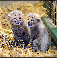BNPS.co.uk (01202 558833)<br /> Pic: Longleat/BNPS<br /> <br /> Winston and Poppy before they were allowed out in the open.<br /> <br /> A rare pair of cheetah cubs have ventured outside for the first time at Longleat Safari Park. Thirteen-week-old cubs Poppy and Winston, who were named by the public, are the first to have been born at the Wiltshire wildlife attraction, which celebrates its 50th anniversary this year. The pair, both still sporting Mohican-style juvenile fur, were allowed outside to explore their paddock under the watchful eye of mum Wilma.