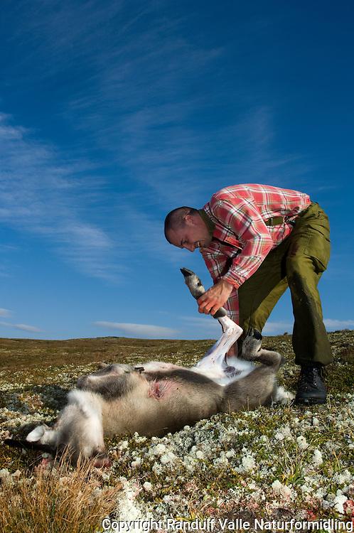 Jeger flår villrein ---- Hunter skinning reindeer