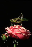 Grasshopper on Hermosa china rose - heirloom pink flower