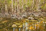 Bald cypress trees (Taxodium distichum) border an unnamed pond along the Loop Road in Big Cypress National Preserve, Florida