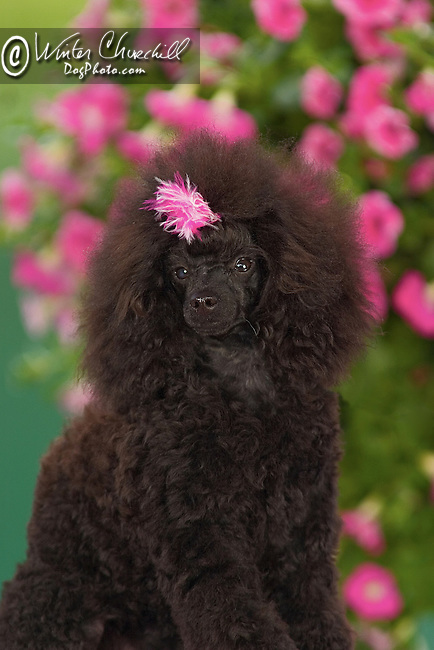 Poodle Shopping cart has 3 Tabs:<br /> <br /> 1) Rights-Managed downloads for Commercial Use<br /> <br /> 2) Print sizes from wallet to 20x30<br /> <br /> 3) Merchandise items like T-shirts and refrigerator magnets