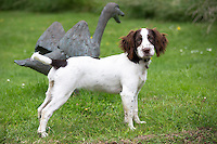 A cute Springer Spaniel dog with brown markings in England