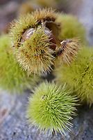 Detail of a fallen chestnut still in its prickly bur