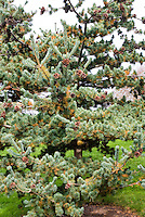 Pinus parviflora Japanese white pine tree in September with pinecones