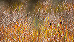 Cattails grow in a field in Yellowstone.