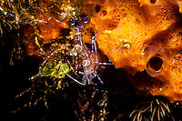Spotted cleaner shrimp hanging under sponge.