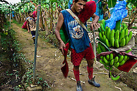 A young Costa Rican worker hanging a bunch of bananas up the aircable on the banana plantation near Puerto Limon, Costa Rica, 1 September 2004. Eighty percent of the exported bananas in the world are grown in Latin America. Local farms have no other alternative than to sell for a price offered by the multinational company. When working conditions and ecology is in question, the corporations do not have any responsibility as they do not own plantations. Local governments in the attempt of organizing banana export provide low duty taxes on export, they try to eliminate social and enviromental politics to attract the big companies to their countries.