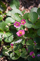 The bright pink flowers of 'Lipstick' strawberry (Fragaria 'Lipstick')