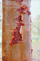 Acer griseum tree trunk bark, peeling orange and brown and red bark, paperbark maple tree closeup