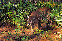 Florida Panther (Felis concolor coryi) walking through pine and saw palmetto forest. Endangered Species. Florida.