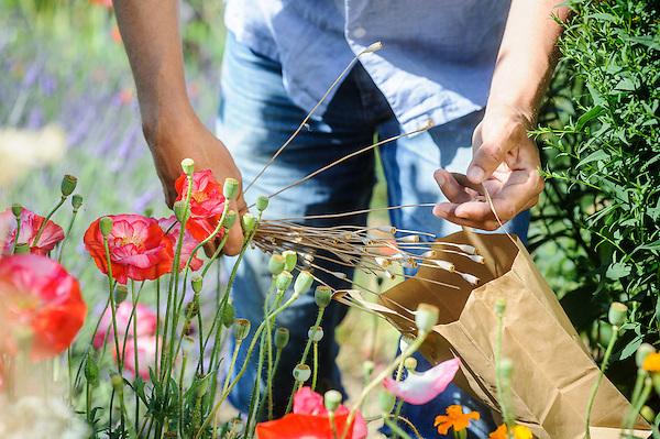 Saving seed of Shirley Poppies