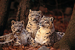 Snow leopard and cubs, Nepal