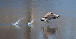 A Canadian Goose runs across the water during takeoff