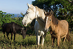 Taveuni, Fiji; local horses graze in a grassy pasture beside the dirt road