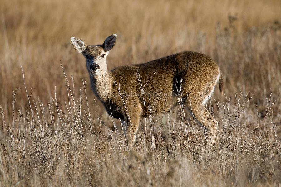 Mule Deer, Carmel Valley, California.