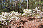 Kurume Azalea, Rhododendron 'Chiyono Akebono', at Callaway Gardens in Pine Mountain, Georgia. Callaway Gardens, which is especially famous for its azaleas, boasts 13,000 acres of gardens and Georgia countryside, plus a conservation nature preserve, extensive education programs, and a very impressive resort as well.