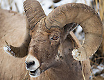 A bighorn sheep ram is eating driedgG grass while being photographed in Yellowstone National Park in Wyoming, USA, on Feb 4Th 2015. Photo by Gus Curtis.