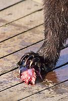 Brown bear eats sockeye salmon, Katmai National Park, Alaska