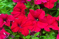 Petunia (Presto Series) Cherry ('Kerprecherry')David Kerley, red annual floers