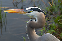 Great blue heron close-up in the Florida Everglades. These huge wading birds ore often found at the water's edge hunting frogs and fish.