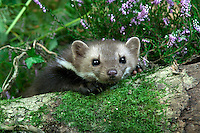 Stone Marten or Beech Marten (Martes foina), Normandy, France