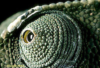 CH06-016z  African Chameleon - close-up of eye, rotates completely and independently of other - Chameleo senegalensis