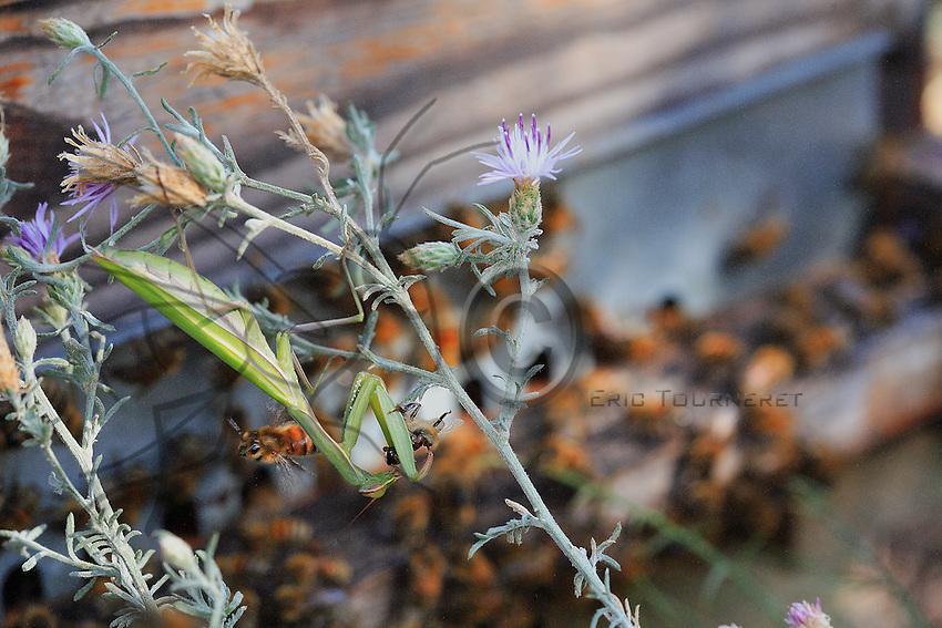 Late August signals the praying mantis high season.